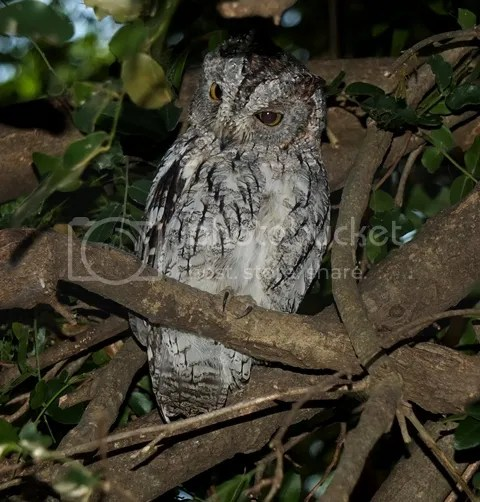 photo Part3_African_Scops_owl_zps79241752.jpg