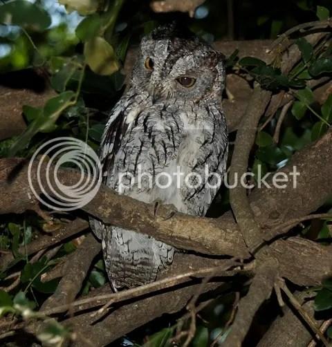 photo Part3_African_Scops_owl_zps79241752.jpg