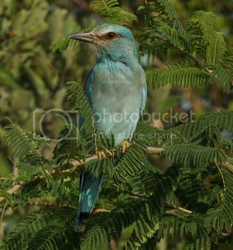 photo Part3_European_Roller_zpsfdcf539f.jpg