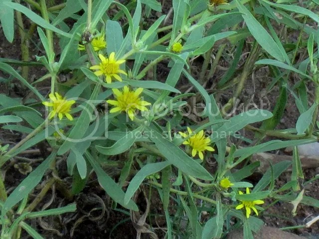 photo Part3_Geigeriasp_Daisies_near_Olifants_zpsf242b394.jpg