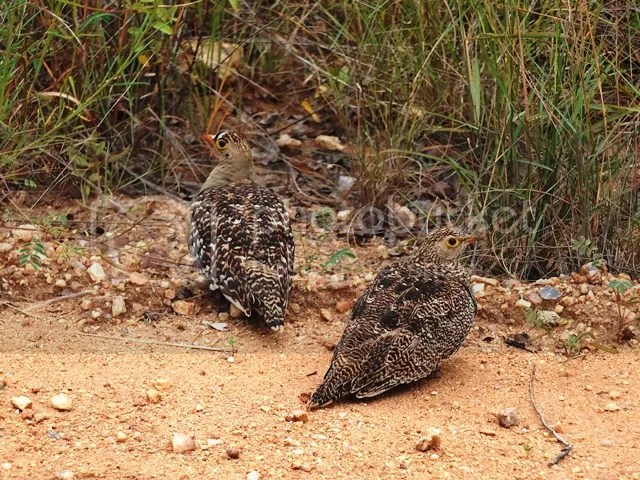 photo Part3_Sandgrouse_zps81035423.jpg