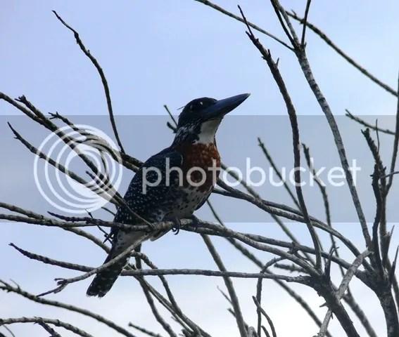 photo Part4_Giant_kingfisher_zps06ba84c5.jpg
