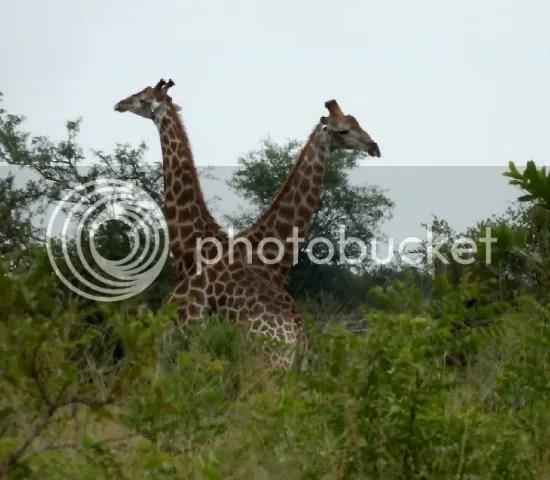 Giraffe fight2 photo Part4_Giraffe_fighting3_zps30c1423a.jpg
