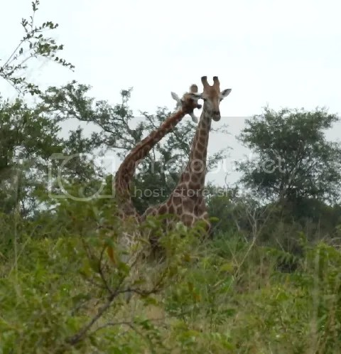 Giraffe fight3 photo Part4_Giraffe_males_fighting_zps407771a4.jpg