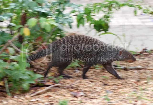 photo Part5_Banded_Mongoose_zps6241458f.jpg