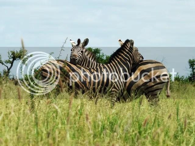 photo Zebras_zps9d743f59.jpg