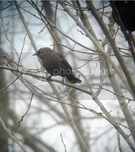 Rusty Blackbird (cropped)