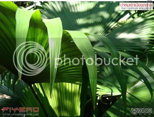 ปาล์มเจ้าเมืองถลาง, พระยาถลาง, ชิงหลังขาว, ทังหลังขาว, Kerriodoxa elegans, White Elephant Palm, King Thai Palm, ปาล์ม, ต้นไม้หายาก, ไม้ถิ่นเดียว, ต้นไม้, ดอกไม้, aKitia.Com