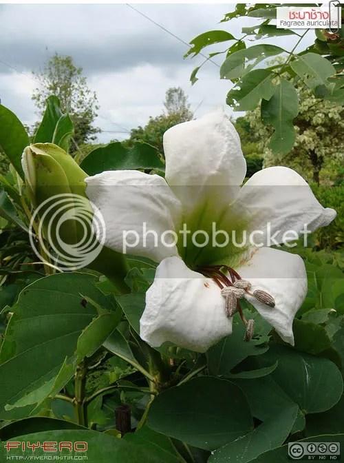 ชะบาช้าง, ชบาช้าง, เทียนฤๅษี, Fagraea auriculata, ไม้ดอกหอม, ดอกใหญ่, ดอกสีขาว, ต้นไม้, ดอกไม้, akitia.com