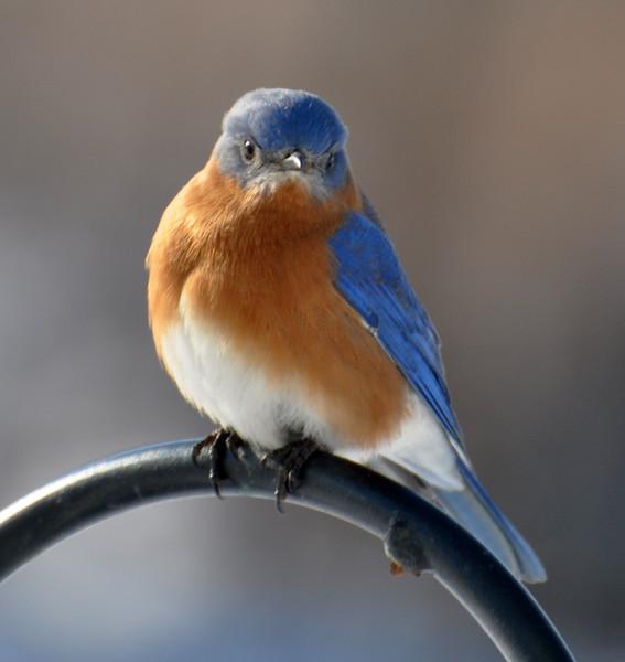 L oiseau bleu bienvenue vous for Oiseau bleu et orange