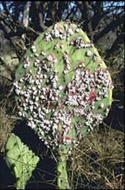Kaktüs Üzerinde Böcekler