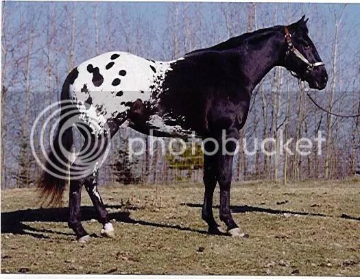 Image result for colorado ranger horse