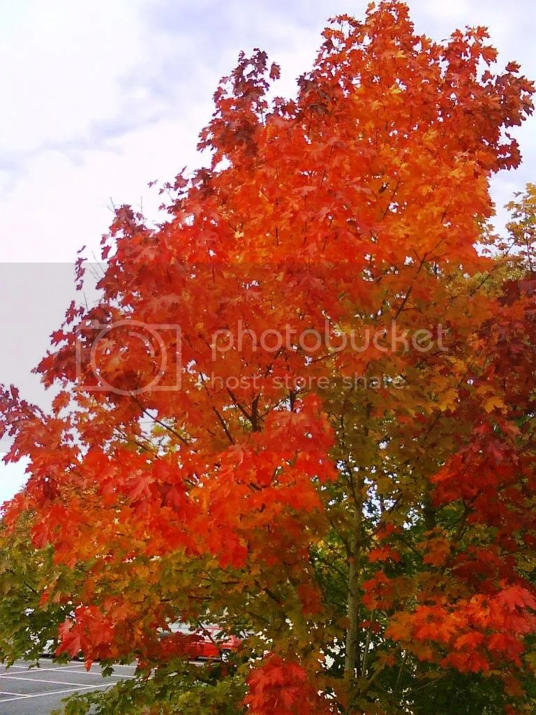 You cant beat a Maple tree