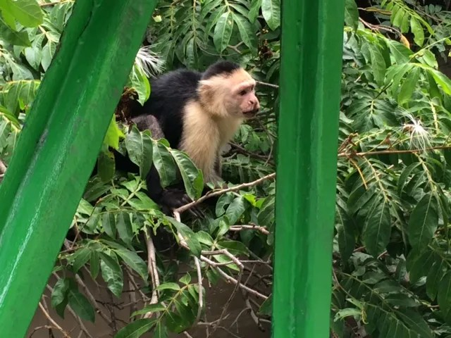 photo Monkey-PaleVerdeNP-CostaRicaV10-14-2014_zpsaf533a9b.jpg
