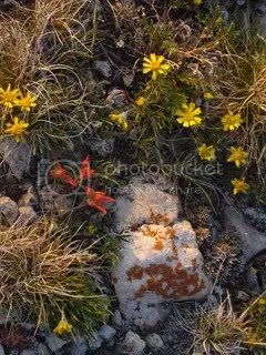 Desert Paintbrush, pebbles & lichen