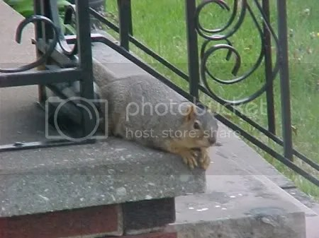 This squirrel was getting barked at by a dog that we will see in a little while.