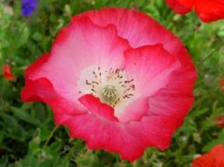 2011 Allen & Ginter Shirley Poppy