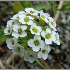 2011 Ginter Sweet Alyssum Flower