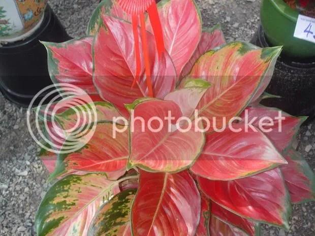 Aglaonema Red Sumatra