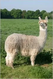 A fine woolly beast awaits you