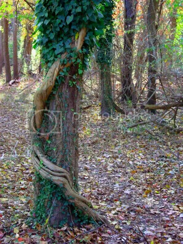 Oak and Ivy Entwined