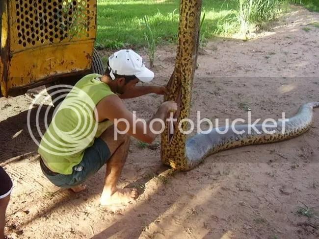 Induk Anaconda Raksasa ditemukan dan 70 Anak Anaconda dikeluarkan dari Perutnya