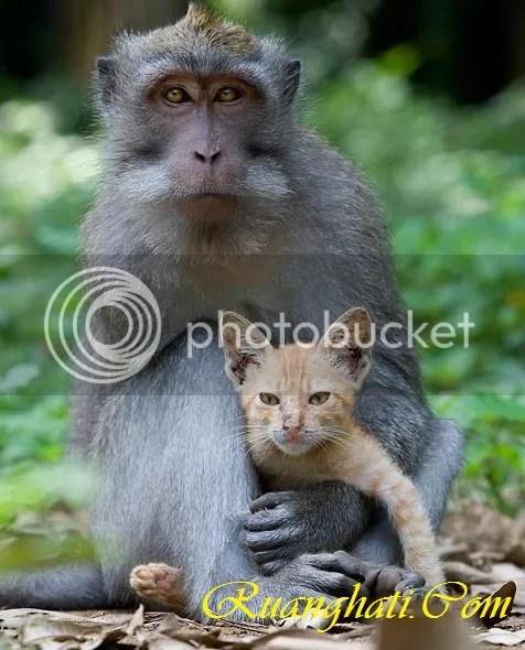 Monyet Adopsi Kucing di Bali