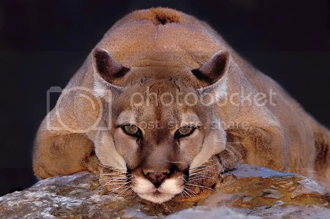 Nomination `Zoos and aquariums`: Mountain lion, zoo Elmvud Park, USA. By David F. Bezold