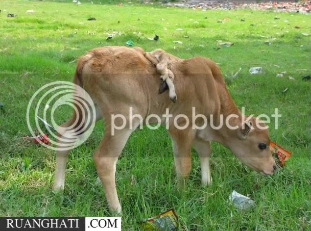 Anak sapi aneh yang memiliki 6 kaki