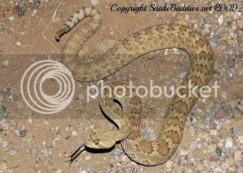 Mojave Rattlesnake (Crotalus scutulatus)