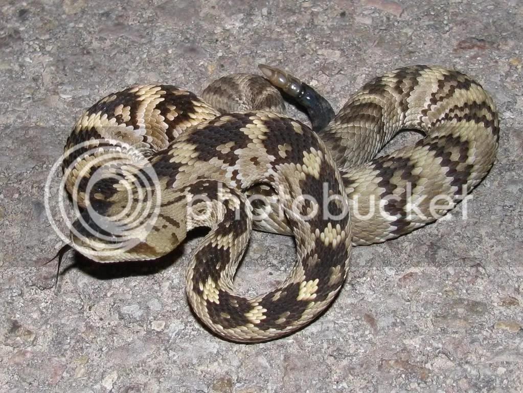 Blacktail Rattlesnake (Crotalus molossus)