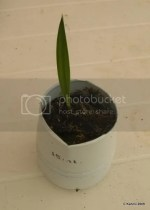 Washingtonia filifera, 2 months old seedling