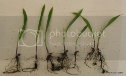 Washingtonia robusta seedlings
