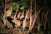 leopardcubrene3.185055.jpg
