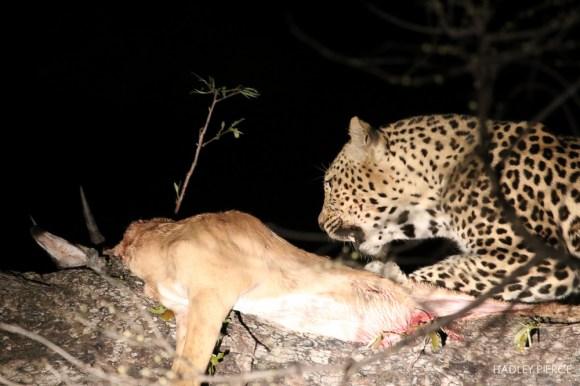 Leopard6OctHadley9.161906.jpg