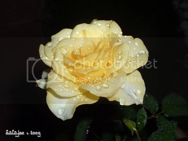 Yellow rose after heavy rain (note - from old collection)