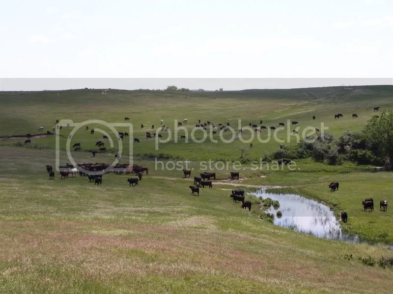 ocker cattle on green grass and water.