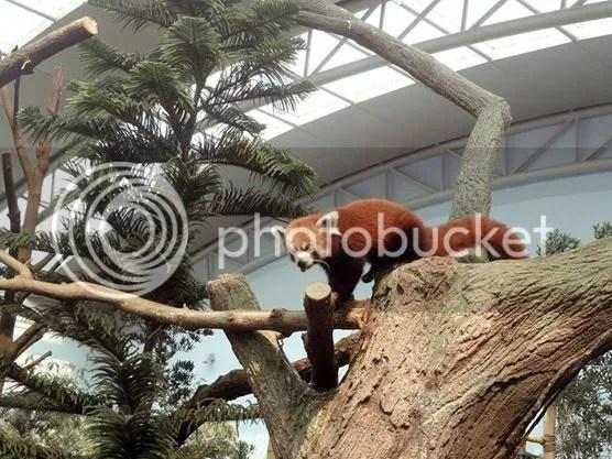 Red Panda roaming inside Giant Panda Forest in River Safari Singapore