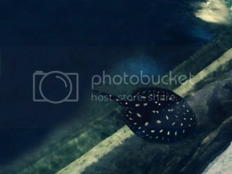 Black Diamond Leopoldi Stingray in the Amazon Flooded Forest of River Safari Singapore