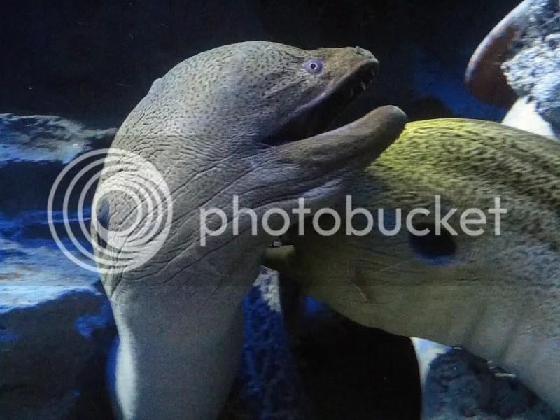 Moray eels in S.E.A. Aquarium Sentosa