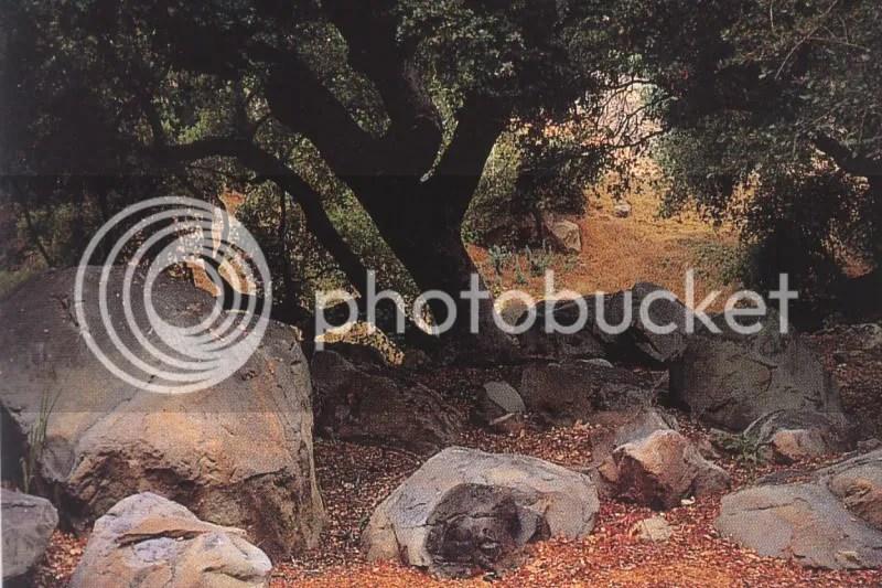 giardino roccioso con olivo