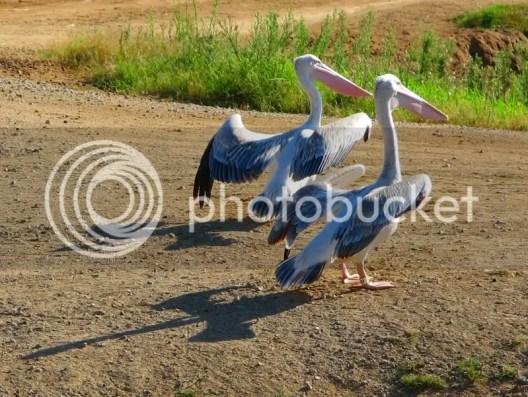 Pelicans Wild Animal Park