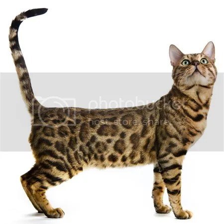 This cat is a Bengal
