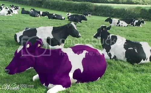 purple cow Pictures, Images and Photos