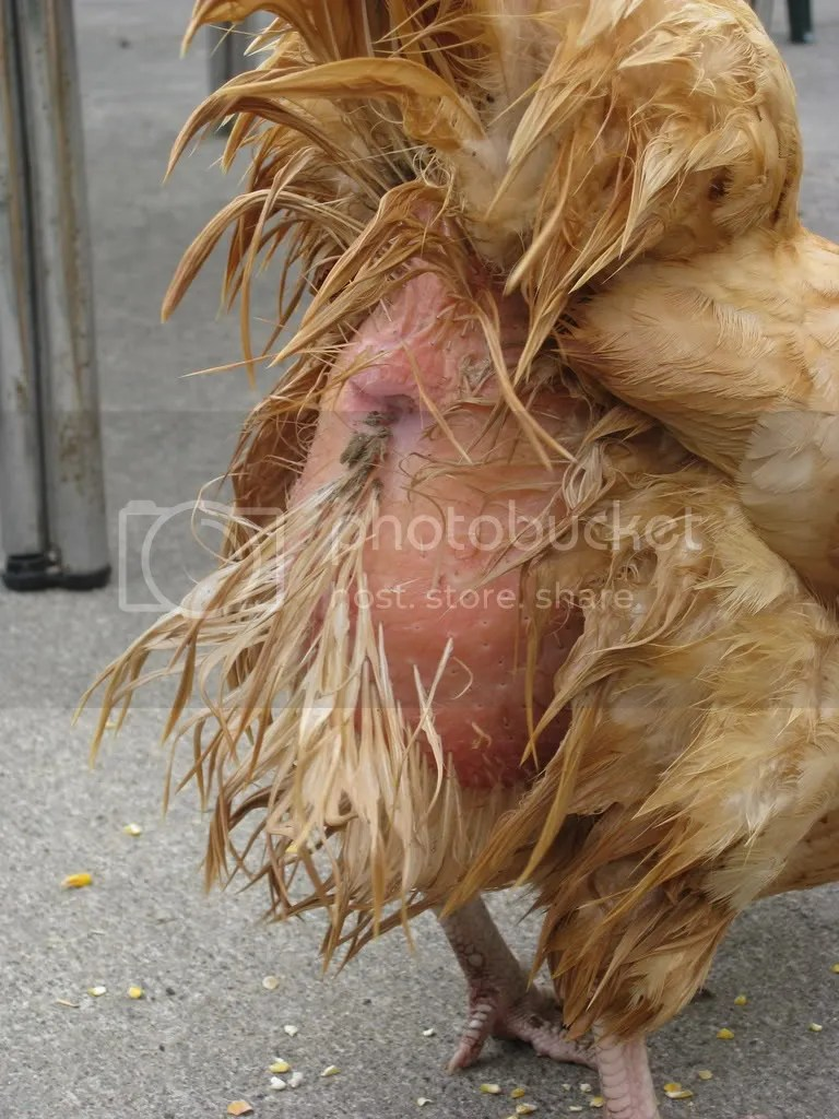 Image result for images of a chickens buttocks