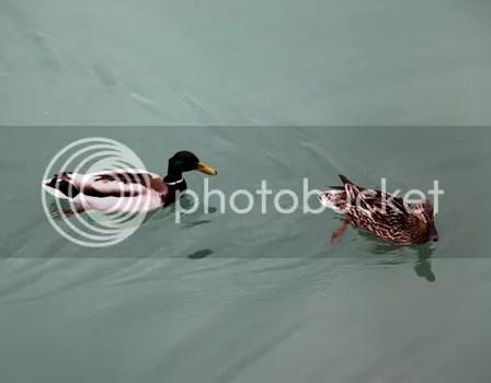 Bebek di Danau Luzern