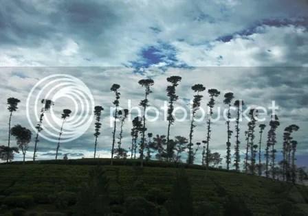 Barisan Pohon