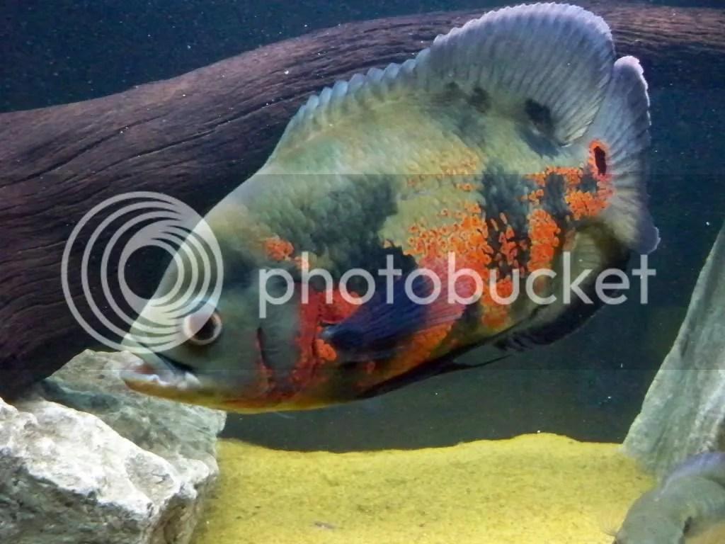 Oscar fish Image1