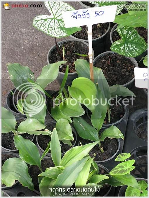 จตุจักร, ตลาดจตุจักร, ตลาดต้นไม้, ตลาดนัดต้นไม้, ไม้ดอก, ไม้ประดับ, ไม้ดอกหอม, Jatujak, Plant Market, ต้นไม้, ดอกไม้, aKitia.Com