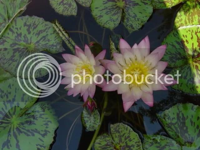 pretty lilypads